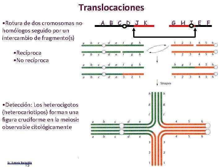 Translocaciones • Rotura de dos cromosomas no homólogos seguido por un intercambio de fragmento(s)