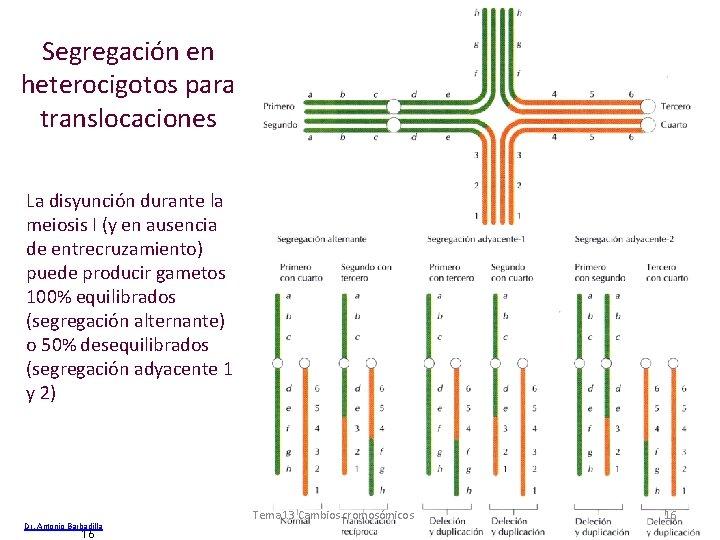 Segregación en heterocigotos para translocaciones La disyunción durante la meiosis I (y en ausencia