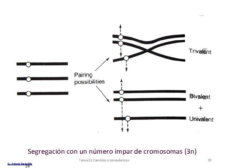 Segregación con un número impar de cromosomas (3 n) Dr. Antonio Barbadilla 28 Tema