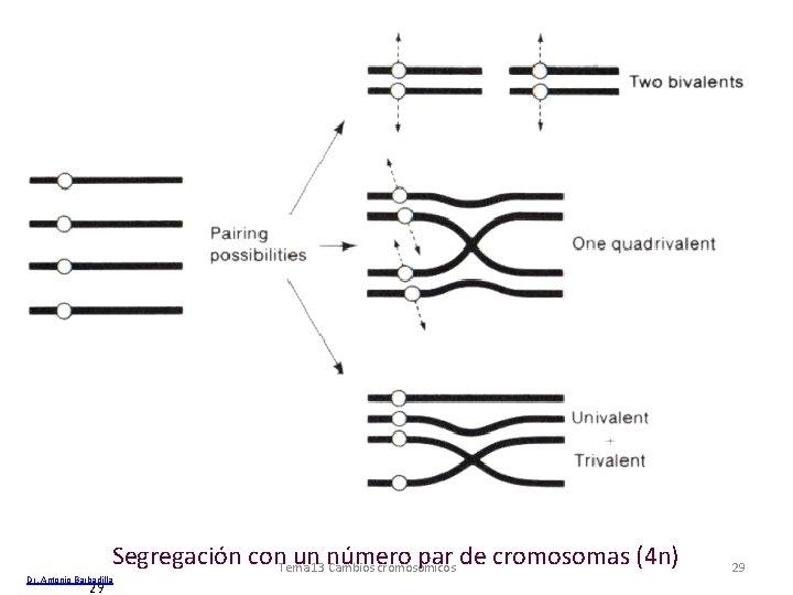 Segregación con. Tema un 13 número par de cromosomas (4 n) Cambios cromosómicos Dr.