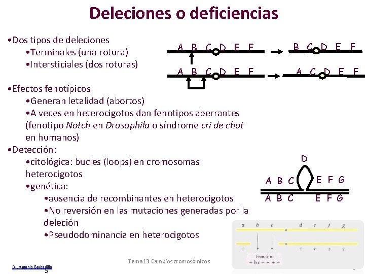 Deleciones o deficiencias • Dos tipos de deleciones • Terminales (una rotura) • Intersticiales