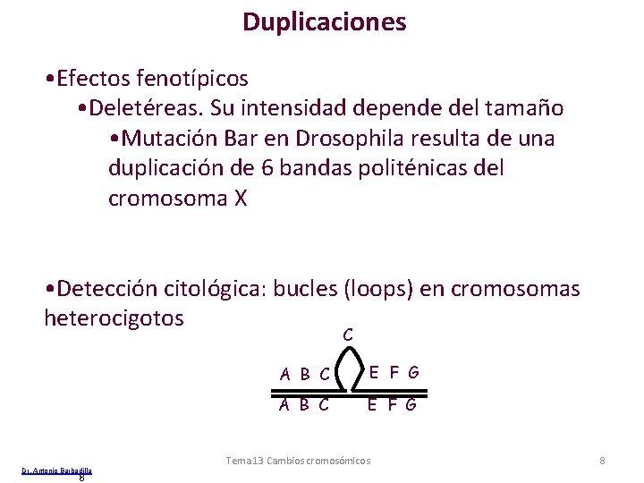 Duplicaciones • Efectos fenotípicos • Deletéreas. Su intensidad depende del tamaño • Mutación Bar