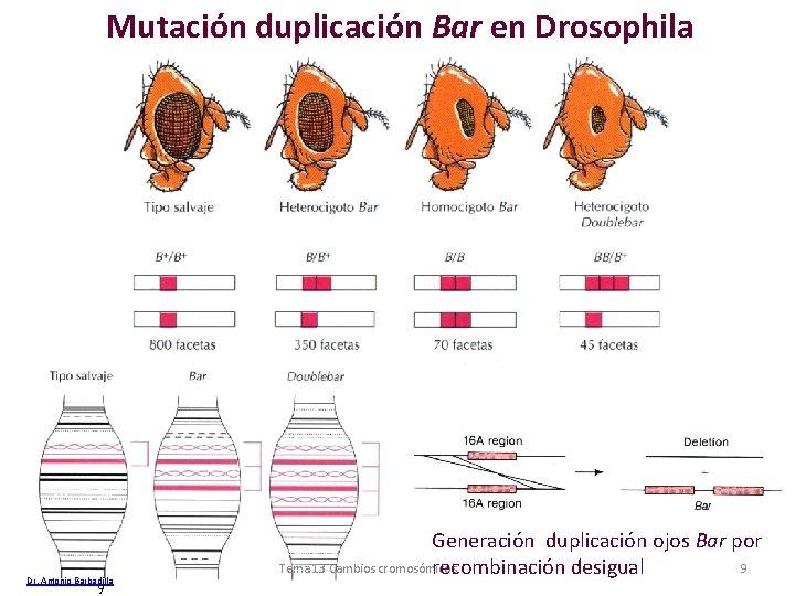 Mutación duplicación Bar en Drosophila Dr. Antonio Barbadilla 9 Generación duplicación ojos Bar por