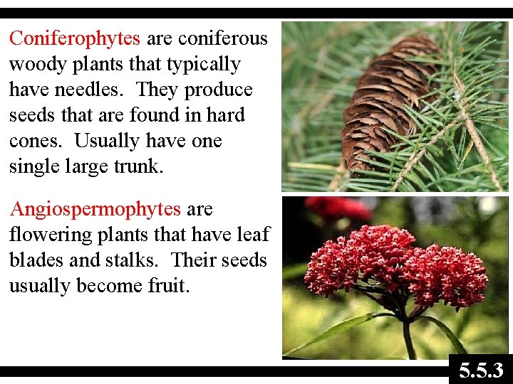 Coniferophytes are coniferous woody plants that typically have needles. They produce seeds that are