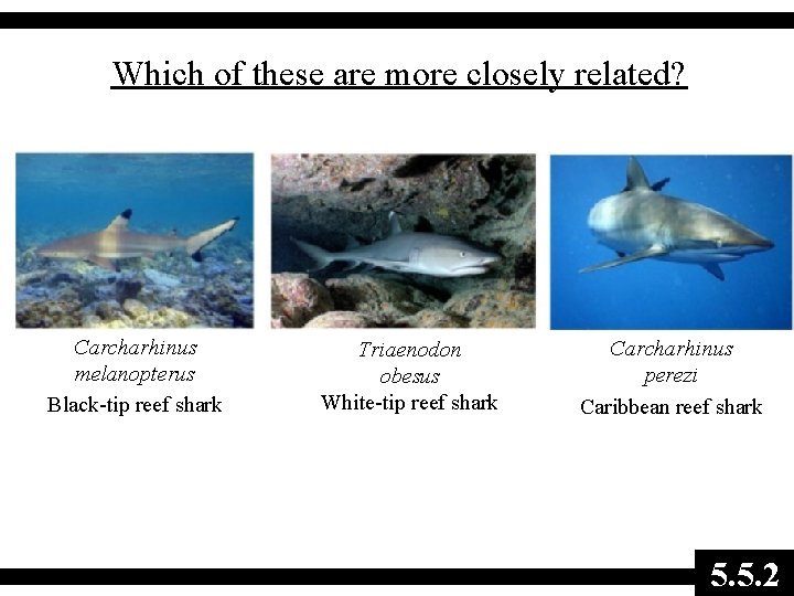 Which of these are more closely related? Carcharhinus melanopterus Black-tip reef shark Triaenodon obesus