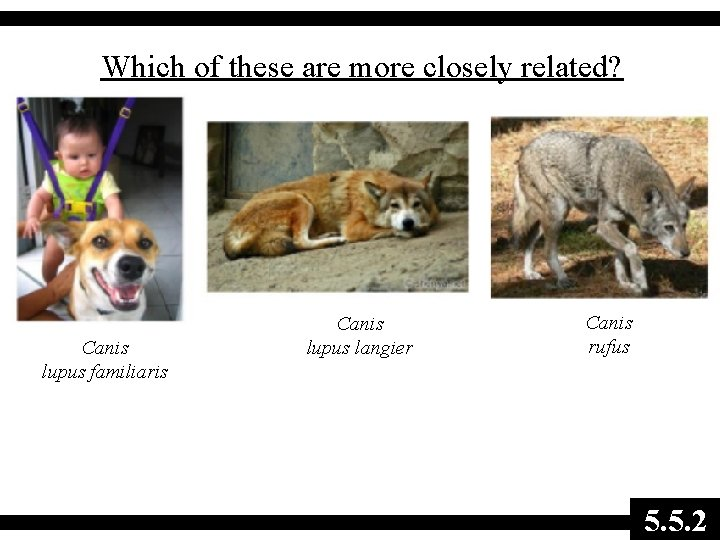 Which of these are more closely related? Canis lupus familiaris Canis lupus langier Canis