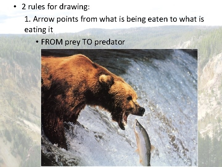 • 2 rules for drawing: 1. Arrow points from what is being eaten