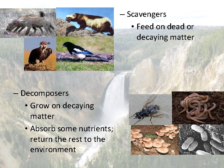 – Scavengers • Feed on dead or decaying matter – Decomposers • Grow on