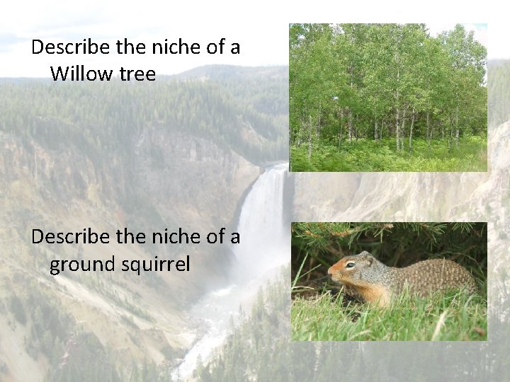 Describe the niche of a Willow tree Describe the niche of a ground squirrel
