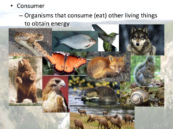 • Consumer – Organisms that consume (eat) other living things to obtain energy