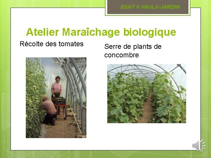 ESAT 4 VAULX-JARDIN Atelier Maraîchage biologique Récolte des tomates Serre de plants de concombre