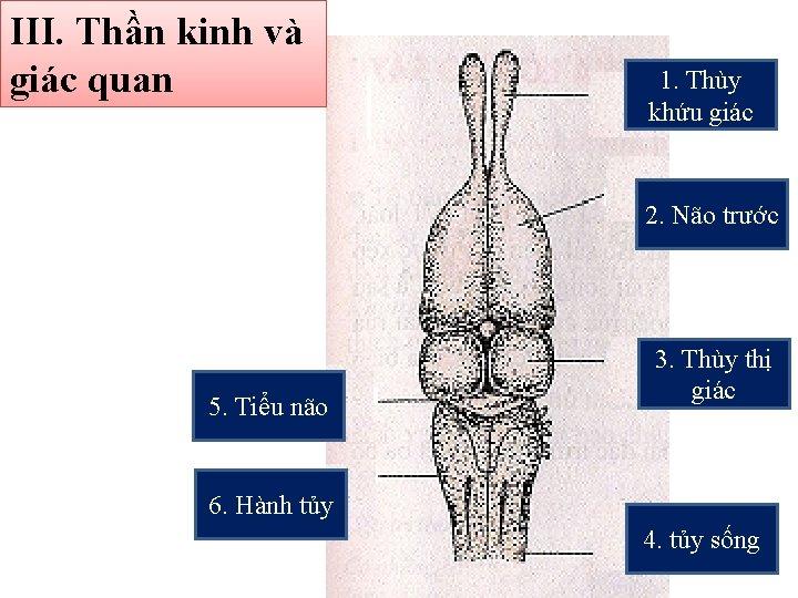 III. Thần kinh và giác quan 1. Thùy khứu giác 2. Não trước 5.