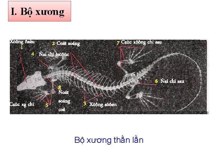 I. Bộ xương Xöông ñaàu 2 Coät soáng 1 4 Ñai chi tröôùc Caùc