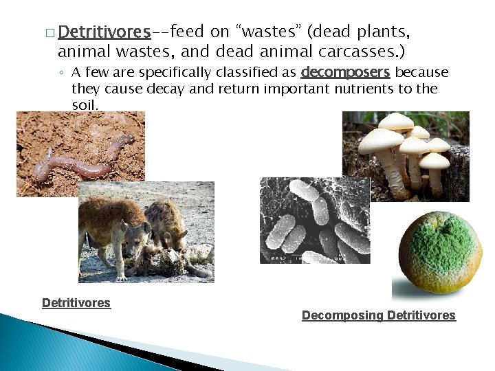 """� Detritivores--feed on """"wastes"""" (dead plants, animal wastes, and dead animal carcasses. ) ◦"""