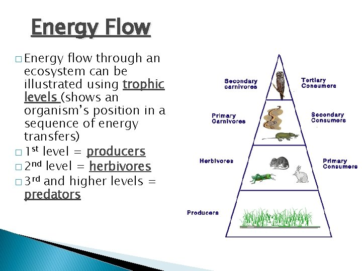 Energy Flow � Energy flow through an ecosystem can be illustrated using trophic levels