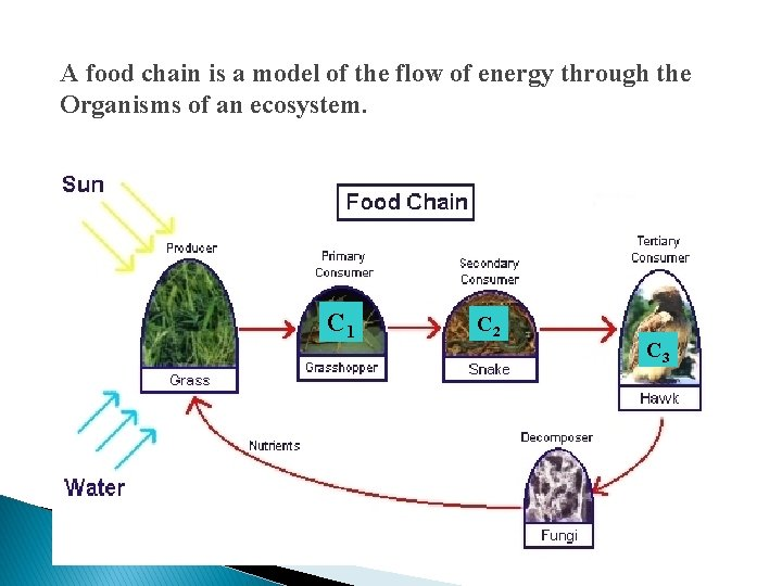 A food chain is a model of the flow of energy through the Organisms