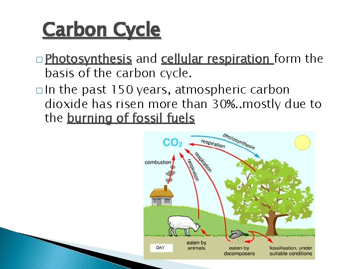 Carbon Cycle � Photosynthesis and cellular respiration form the basis of the carbon cycle.