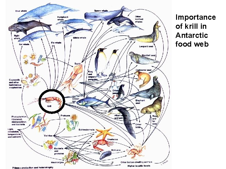 Importance of krill in Antarctic food web