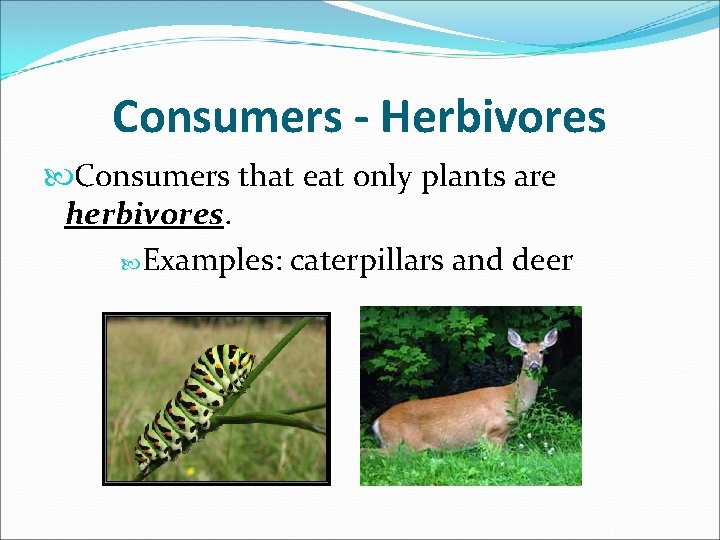 Consumers - Herbivores Consumers that eat only plants are herbivores. Examples: caterpillars and deer