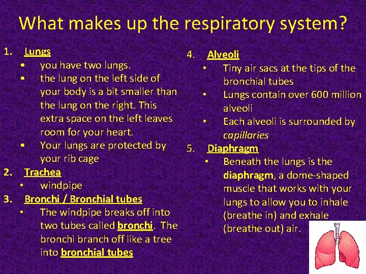 What makes up the respiratory system? 1. Lungs 4. Alveoli • you have two