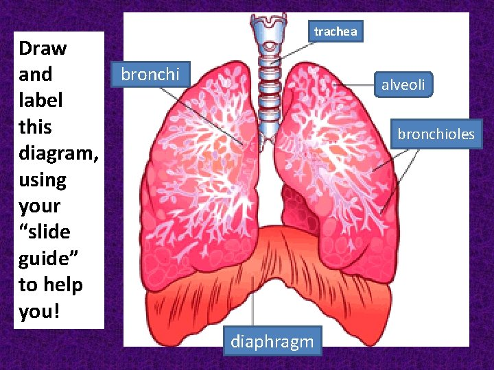 """Draw bronchi and label this diagram, using your """"slide guide"""" to help you! trachea"""