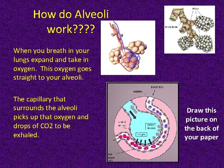 How do Alveoli work? ? When you breath in your lungs expand take in