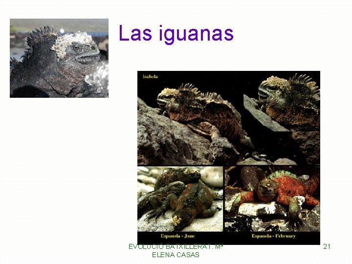 Las iguanas EVOLUCIÓ BATXILLERAT. Mª ELENA CASAS 21