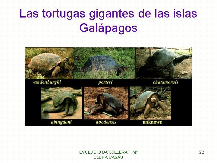Las tortugas gigantes de las islas Galápagos EVOLUCIÓ BATXILLERAT. Mª ELENA CASAS 22