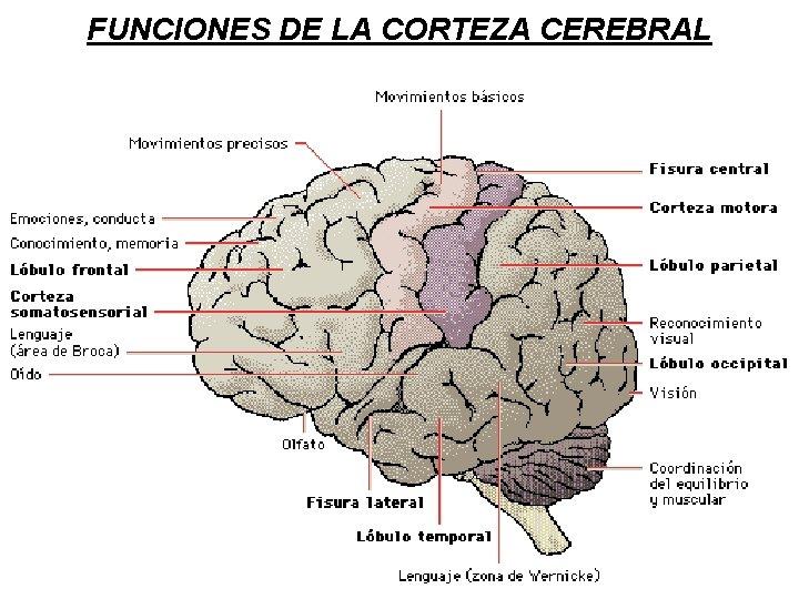 FUNCIONES DE LA CORTEZA CEREBRAL
