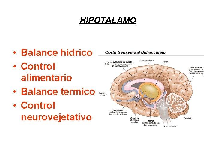 HIPOTALAMO • Balance hidrico • Control alimentario • Balance termico • Control neurovejetativo