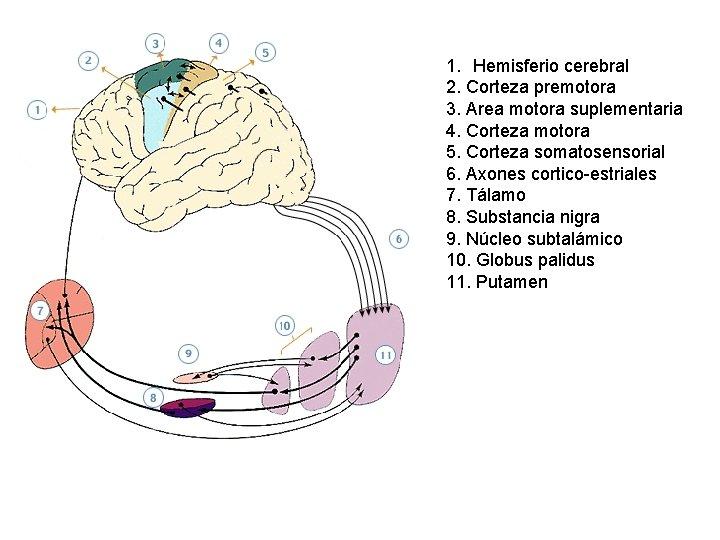 1. Hemisferio cerebral 2. Corteza premotora 3. Area motora suplementaria 4. Corteza motora 5.