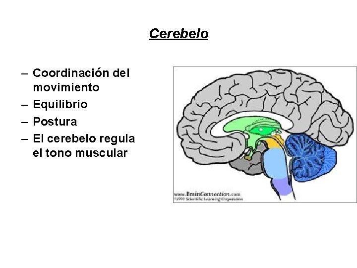 Cerebelo – Coordinación del movimiento – Equilibrio – Postura – El cerebelo regula el