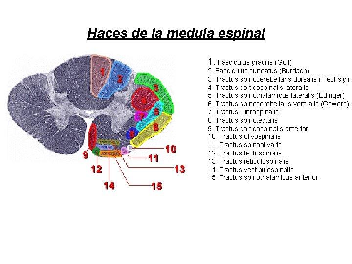 Haces de la medula espinal 1. Fasciculus gracilis (Goll) 2. Fasciculus cuneatus (Burdach) 3.