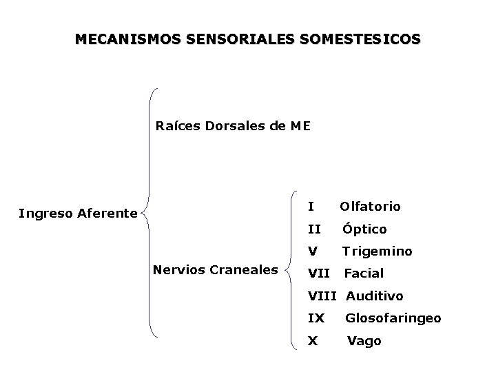 MECANISMOS SENSORIALES SOMESTESICOS Raíces Dorsales de ME Ingreso Aferente Nervios Craneales I Olfatorio II