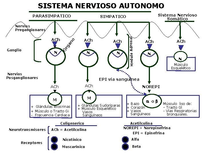 SISTEMA NERVIOSO AUTONOMO PARASIMPATICO Sistema Nervioso Somático SIMPATICO N ACh N N Nervios Posganglionares