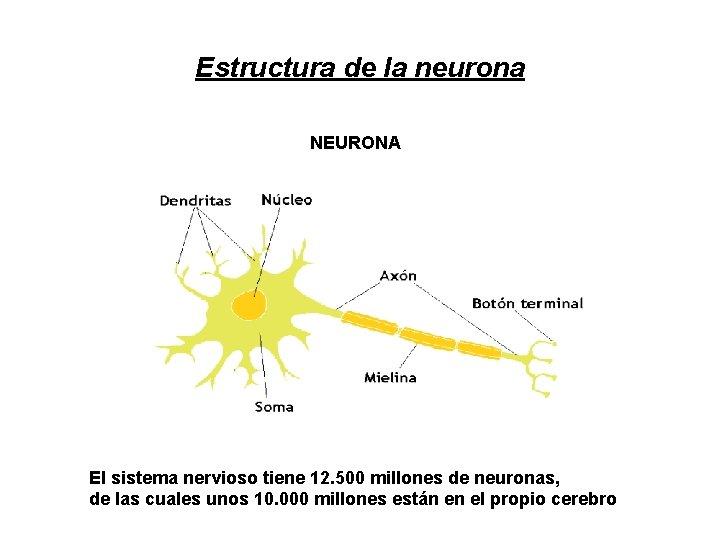 Estructura de la neurona NEURONA El sistema nervioso tiene 12. 500 millones de neuronas,