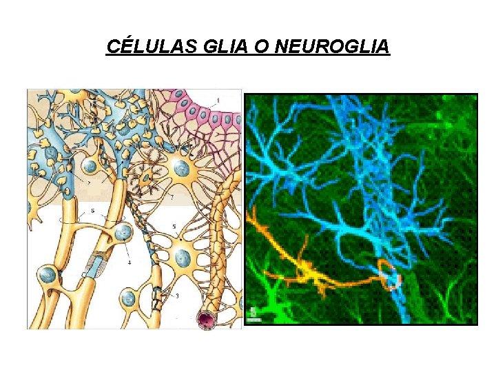 CÉLULAS GLIA O NEUROGLIA
