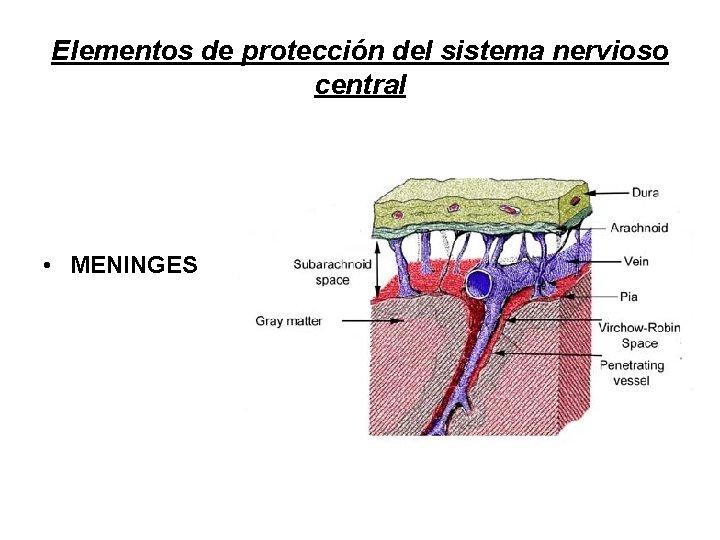 Elementos de protección del sistema nervioso central • MENINGES