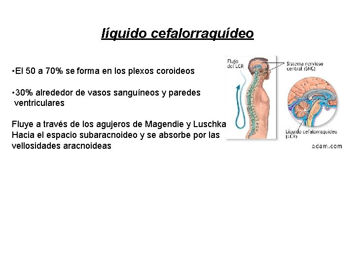 líquido cefalorraquídeo • El 50 a 70% se forma en los plexos coroideos •