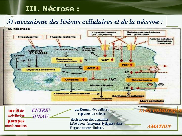 III. Nécrose : 3) mécanisme des lésions cellulaires et de la nécrose : arrêt