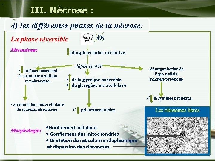 . III. Nécrose : 4) les différentes phases de la nécrose: La phase réversible
