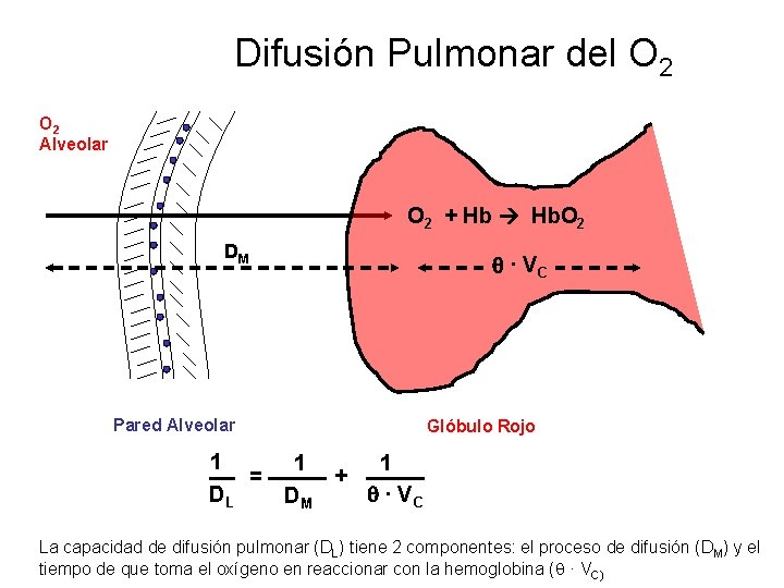 Difusión Pulmonar del O 2 Alveolar O 2 + Hb Hb. O 2 DM