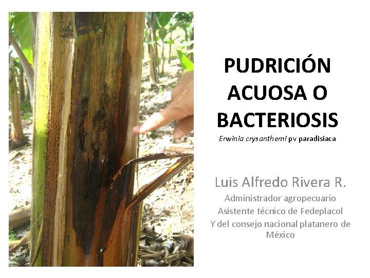 PUDRICIÓN ACUOSA O BACTERIOSIS Erwinia crysanthemi pv paradisiaca Luis Alfredo Rivera R. Administrador agropecuario