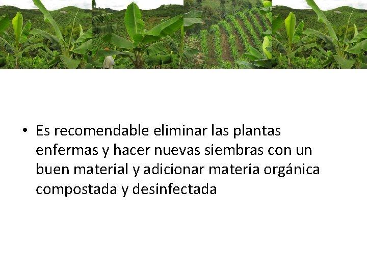 • Es recomendable eliminar las plantas enfermas y hacer nuevas siembras con un