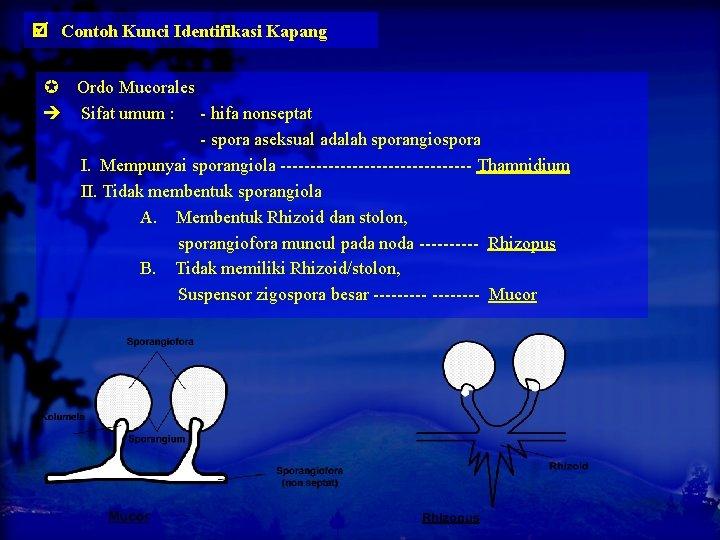 Contoh Kunci Identifikasi Kapang Ordo Mucorales Sifat umum : - hifa nonseptat -