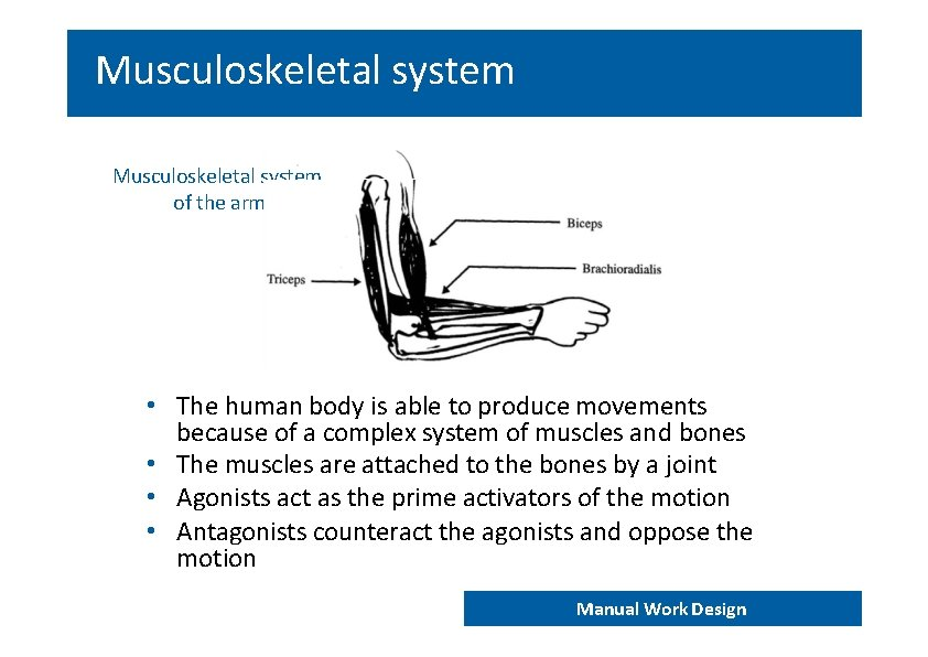 Musculoskeletal system of the arm • The human body is able to produce movements