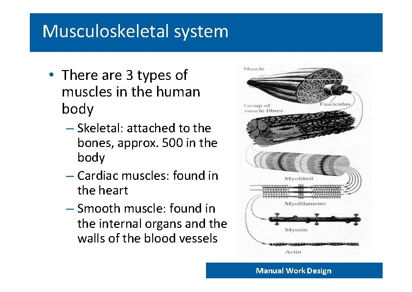 Musculoskeletal system • There are 3 types of muscles in the human body –