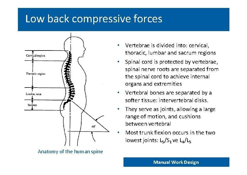 Low back compressive forces • Vertebrae is divided into: cervical, thoracic, lumbar and sacrum
