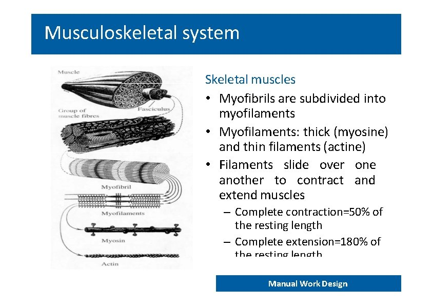 Musculoskeletal system Skeletal muscles • Myofibrils are subdivided into myofilaments • Myofilaments: thick (myosine)