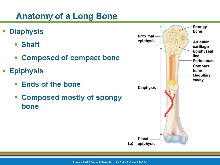 Anatomy of a Long Bone § Diaphysis § Shaft § Composed of compact bone